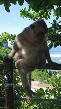 Indonesian monkey